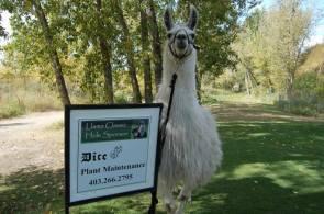Llama Classic (2012-09-15) (60)