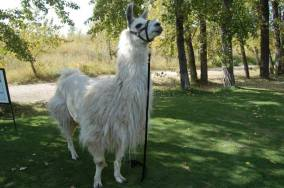 Llama Classic (2012-09-15) (71)